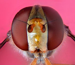 Extreme macro photo (micrograph). This hoverfly are taken with Nikon microscope objective 10X CF E attached Nikon D7000.