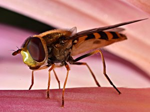 Macro Photo. Hoverfly taken with Nikon 60mm macro lens and PK-13 extension tube on the Nikon D7000.