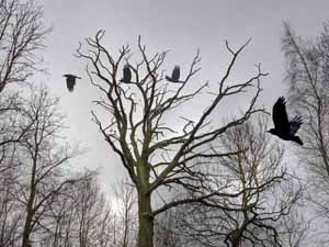 Surreal photography - Rooks
